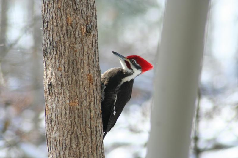 Pileated Woodpecker - male - 368