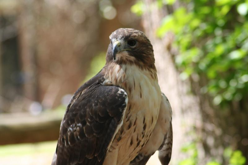 Red-Tailed Hawk - 331